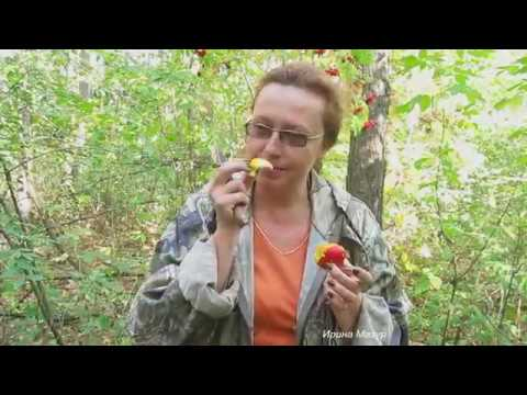 Рецепт чабрец от простатита