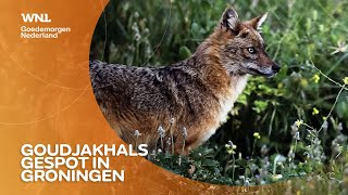 Goudjakhals gespot in Groningen: 'Ook steeds meer wilde katten en wasberen'