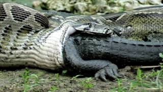 Download Video Python eats Alligator 02, Time Lapse Speed x6 MP3 3GP MP4