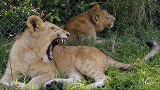 Lions learn how to hunt for wilderness life | BBC Earth