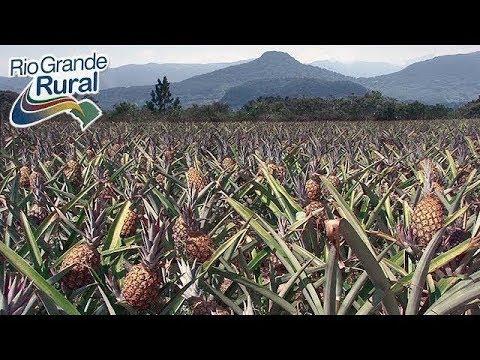 Técnica prolonga produção de abacaxi por 10 meses
