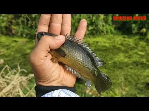 Mancing ikan betok di kanal berlumut