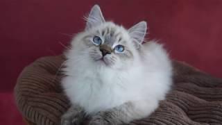 Tak wyrosły kociaki z miotu I :)