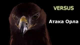 ВЕРСУС. ОРЕЛ В ДЕЛЕ! Невероятные кадры нападения орлов!
