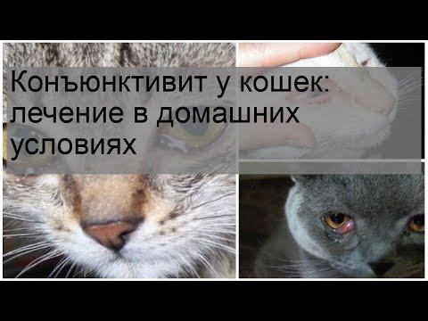 Конъюнктивит у кошек: лечение в домашних условиях