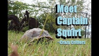Captain Squirt The African Sulcata Tortoise