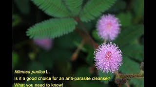 Mimosa pudica ... is it a good choice to use as an anti-parasitic treatment?