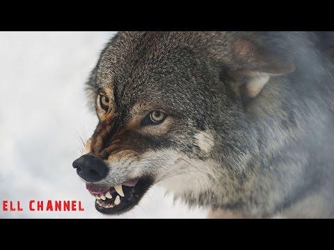 10 საინტერესო ფაქტი მგლებზე (ვიდეო)