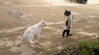 Cats Walking Funny and Thinking They are Humans