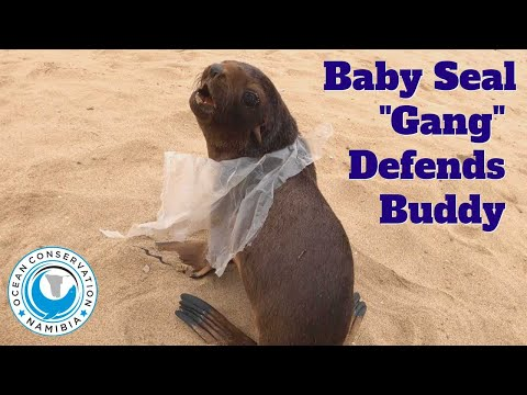 Baby Seal's Friends Try Save Him From the Humans