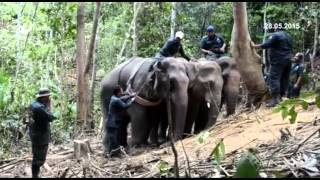 5 Jam Pindah Gajah Sesat Di Kampung Pasir Gajah Kemaman Lakar Sejarah 40 Tahun