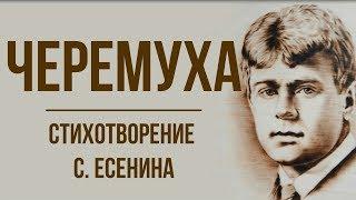 «Черемуха» С. Есенин. Анализ стихотворения