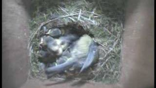 preview picture of video 'RSPB South Essex blue tit nestcam'