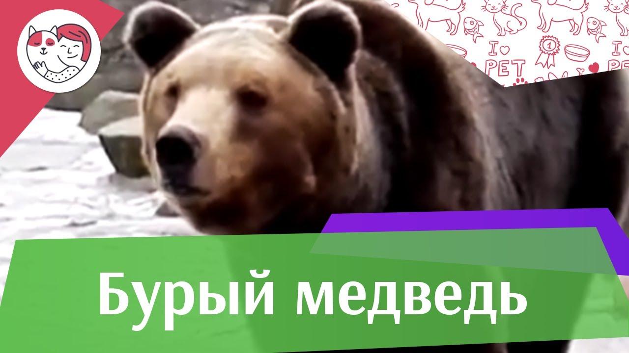 Бурый медведь образ жизни на ilikepet
