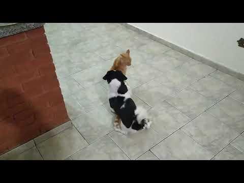 Shitzu provoca gato grande