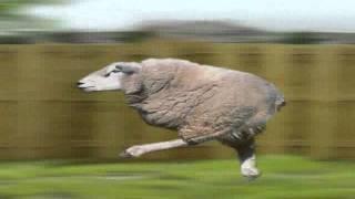Retarded Running Sheep (Original After Retarded Running Horse)