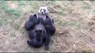 animale faza ursi