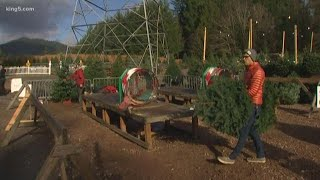 Prices rising for real Christmas trees