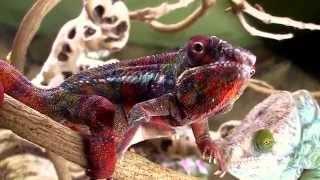 Chameleon Camera Time