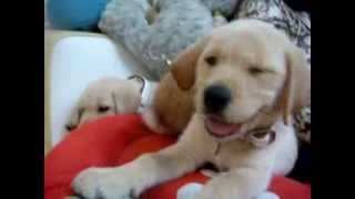 Labrador puppies & Rabbit