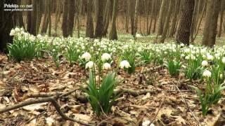 Cvetoči pomladanski veliki zvončki