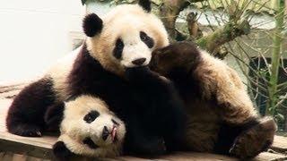 preview picture of video 'Panda cubs at Bifenxia 雅安碧峰峡の子パンダ'