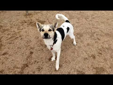 GORDON, an adopted Australian Cattle Dog / Blue Heeler Mix in Phoenix, AZ
