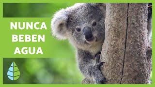 Alimentación De Los KOALAS 🌿🐨🌿 Qué Comen Los KOALAS