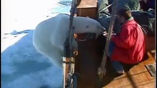 Wild Polar Bear gets too hungry! Svalbard