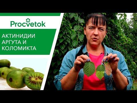 БЫСТРЫЙ рост, ВКУСНЫЕ плоды! Актинидия: Аргута и Коломикта - это надо знать каждому!