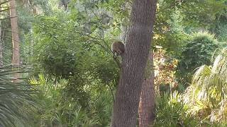 Freedom the Parrot Saw a Raccoon Crawl Down a Tall Tree at Treetops! HHI, SC