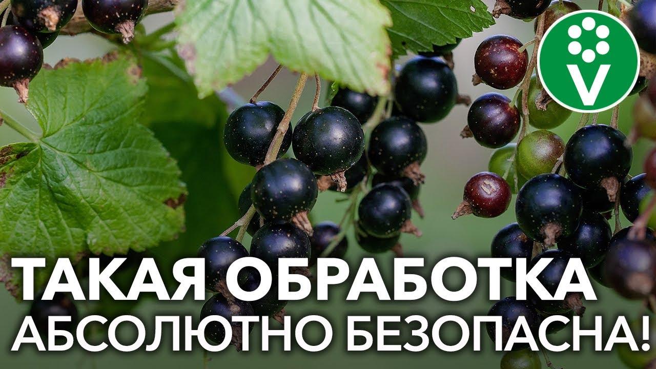 Как и чем обработать смородину от тли и мучнистой росы во время плодоношения?
