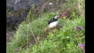 Puffin / Papageitaucher
