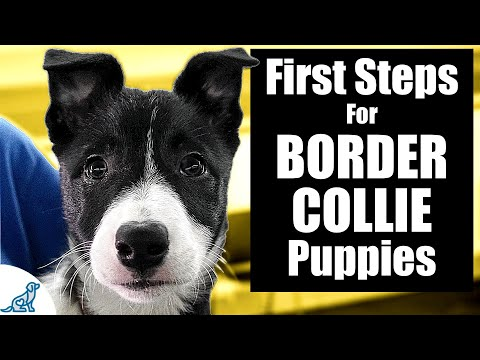 Border Collie Puppy Training - 10 Skills To TEACH FIRST!