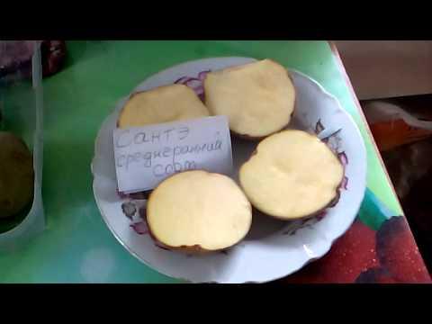 """Подготовка  картофеля """"Сантэ""""  для проращивания"""