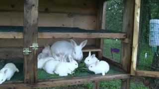 New Zealand Bunnies Born Yesterday And Meat Rabbit Updates