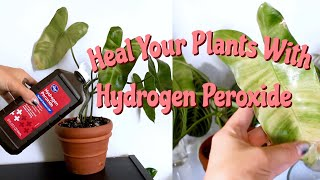 Benefits Of Hydrogen Peroxide On Houseplants! | Hydrogen Peroxide For Root Rot & Pest Management!