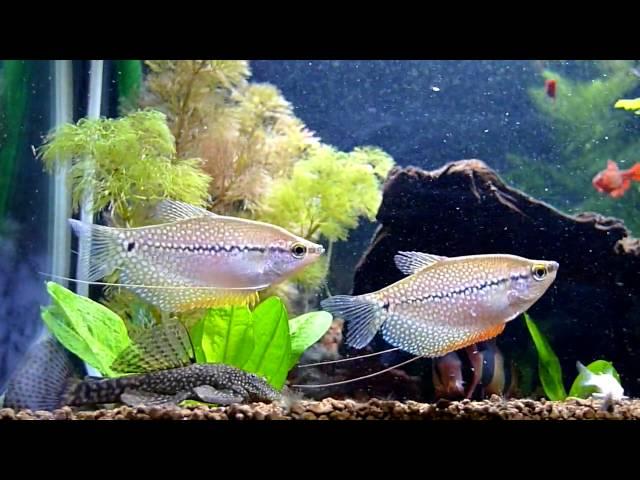 Gourami Pérola / Tricogaster leeri & CO