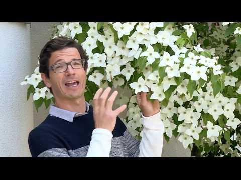 Blumenhartriegel - Blütenfülle und Standort