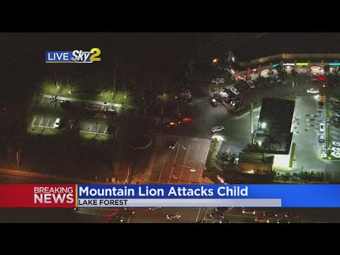 Mountain Lion That Attacked Child In Lake Forest Park Killed