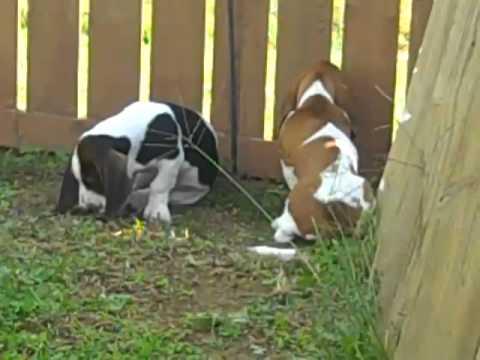Red and White Female Basset Hound Puppy