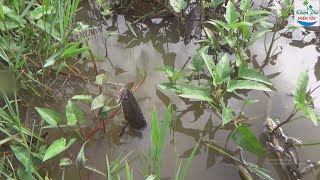 54 | Cắm Câu Cá Lóc Mà Lại Dính Cò | Fishing