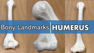 Bony Landmarks of the Humerus