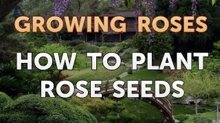 How to Plant Rose Seeds