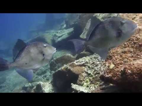 Grey triggerfish in Spain