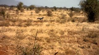 Secretary bird lands in the grass on safari - Kenya Wildlife Conservancy Ngutuni Tsavo East Lodge