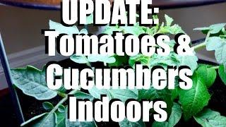 Growing Tomatoes And Cucumbers Indoors: UPDATE  #1 //  Growing Your Indoor Garden #7