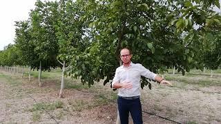 Chandler Walnut Trees - Waltree Nursery