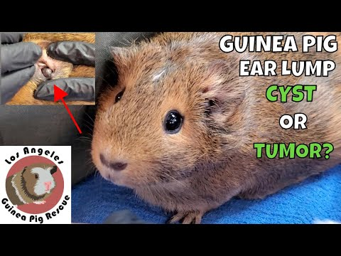 , title : 'Lump in a Guinea Pig's Ear. Is it a Cyst or a Tumor?