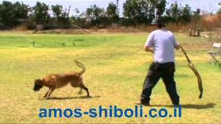 אילוף כלבים | שוצהונד - ספורט כלבני פופולארי חלק א'